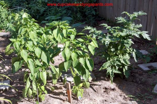 Teeny, Tiny Heirloom Tomato Plant