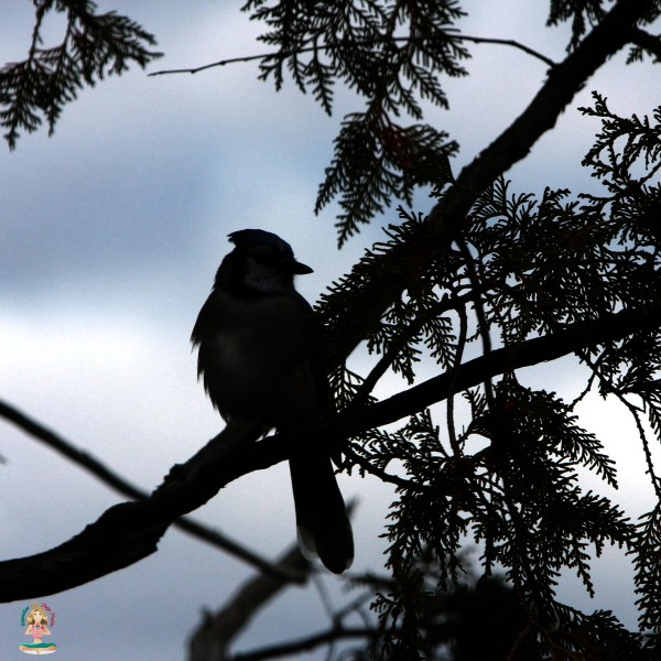 Mindful Moment with a Bluejay