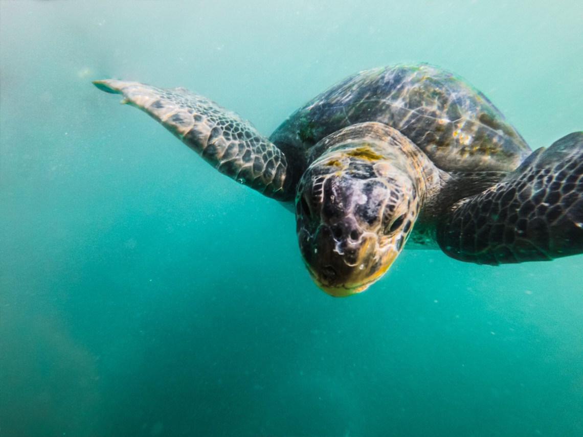 swimming with turtles in mancora peru