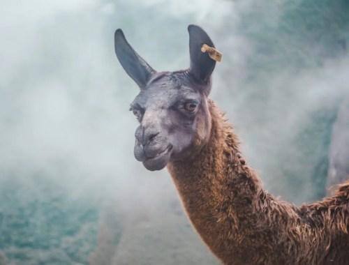 If we only had 2 weeks: Peru Itinerary | Guanaco llama alpaca at Machu Picchu | Peru Travel Guide by Cuppa to Copa Travels
