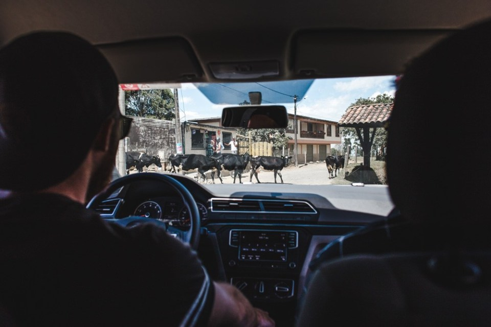 driving cows safe travel in south america safety tips