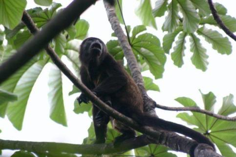 Nicaragua, monkey, conservation, wildlife, public health, forest, ecohealth