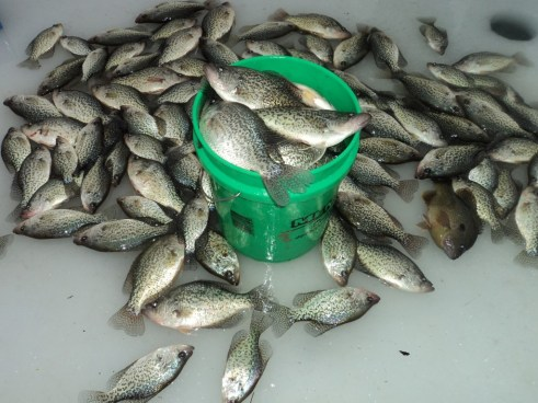 Copy of ice fishing crappie 068