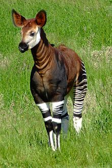 An Okapi. Photo source: Wikipedia