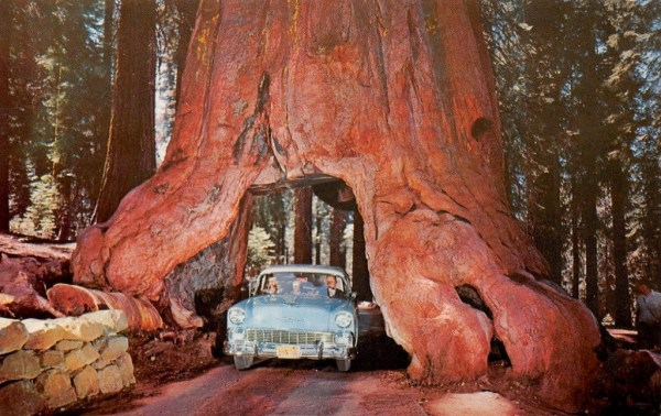 Redwood giant drive through