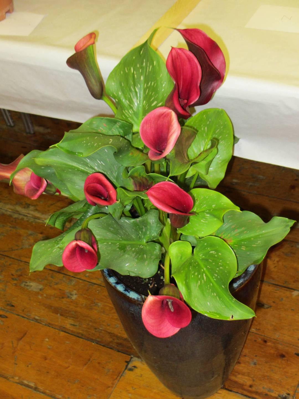 Flowering pot plant