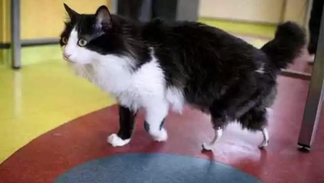 gato ganha patas bionicas