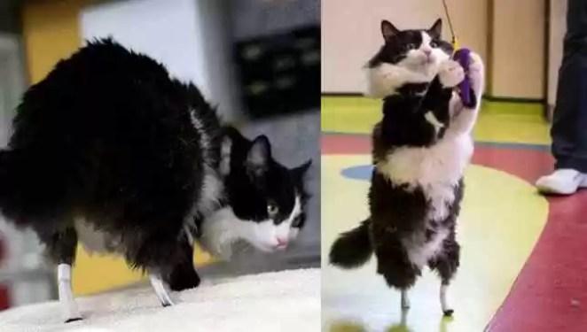 gato ganha próteses