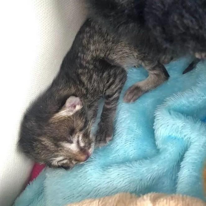 gatinho com duas caras foi adotado