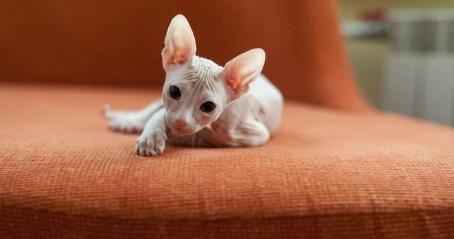 filhote de gato sphynx