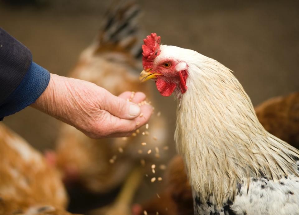 La principal diferencia entre el pollo normal y el pollo de corral es la alimentación y la crianza