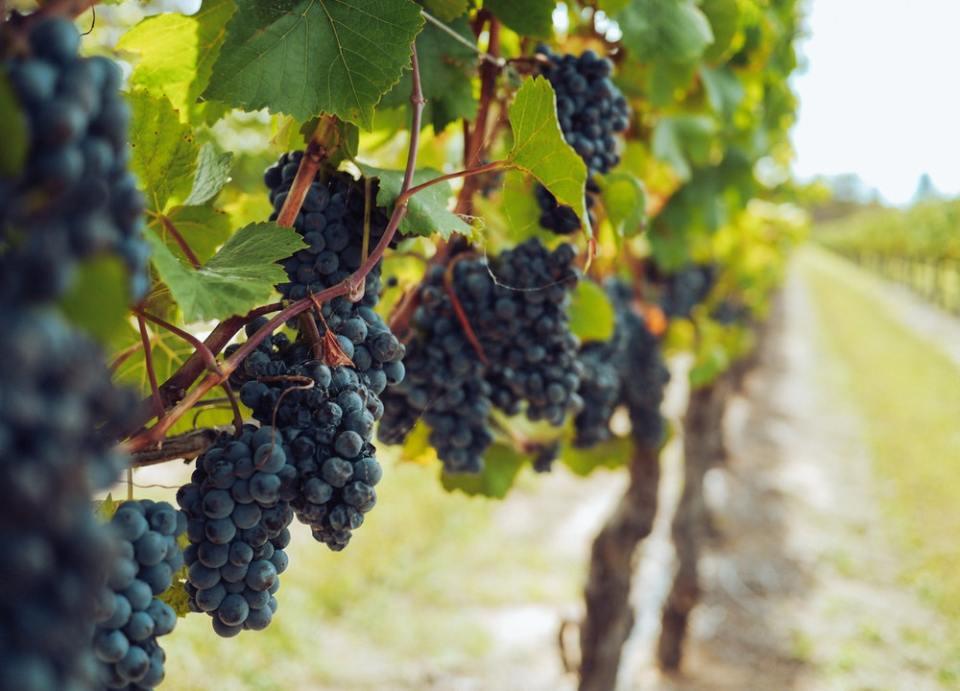 Los vinos blancos y rosados tienen más sulfitos que el vino tinto