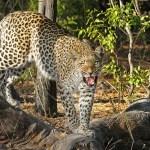 La desesperada lucha de un hombre atacado por un leopardo salvaje