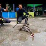 INCREÍBLE VÍDEO: Enorme Pitón es atrapada y regurgita un gallo