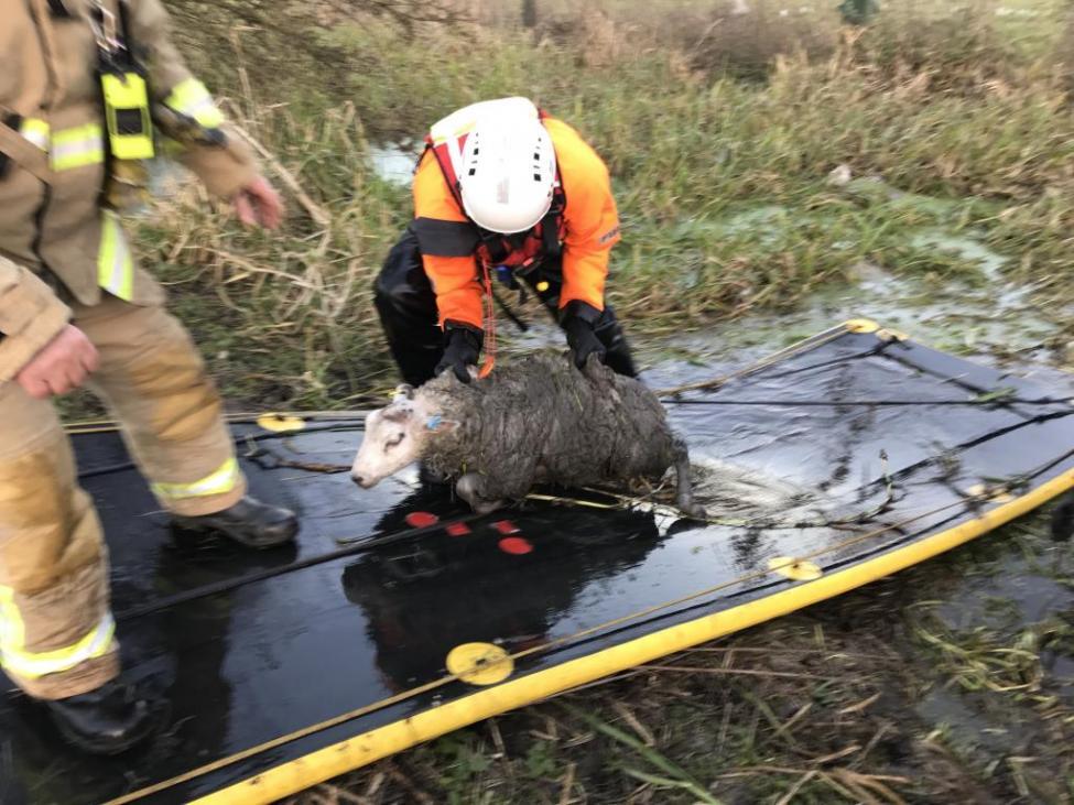 Rebaño de ovejas rescatadas de un río en Inglaterra