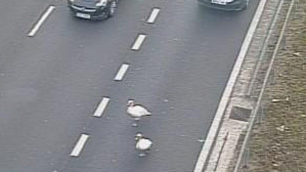 Cisnes retienen el tráfico en hora punta en M3