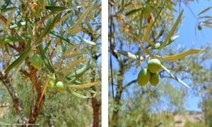 oliviers à Zuheros