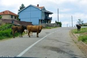 Vaches sur les routes de Macédoine