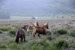Chevaux islandais au galop