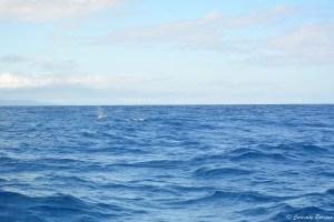 Baleines aux Açores