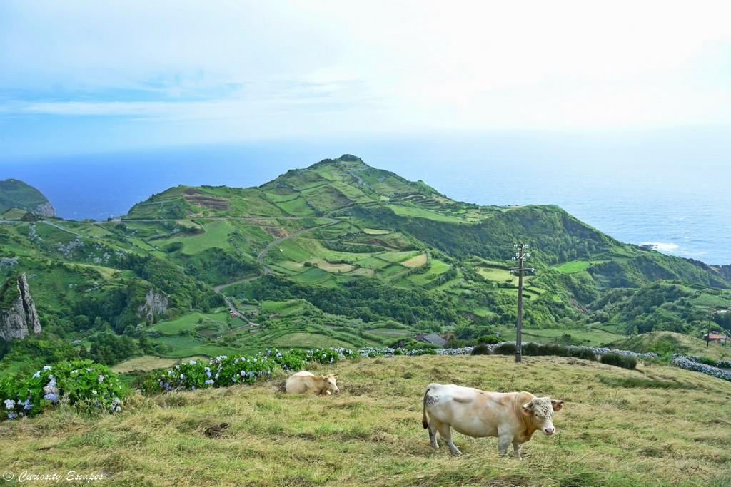 Vache sur l'île de Flores, Açores
