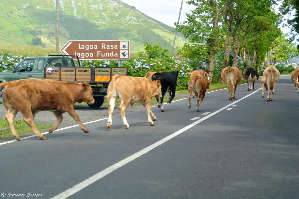 Troupeau de vaches sur la route
