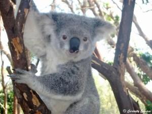 portrait de koala en Australie