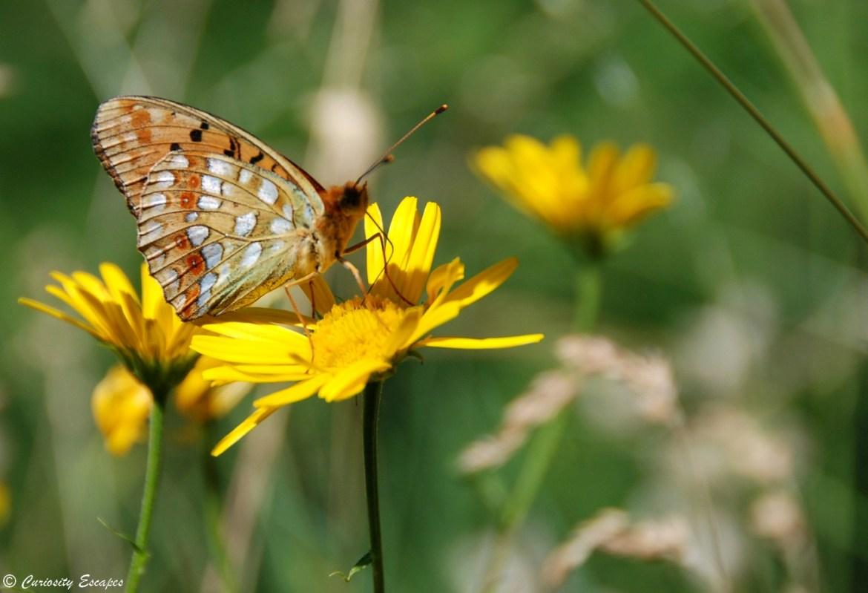 Papillon en randonnée dans le Vercors