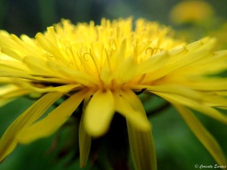 Fleur des montagnes du Beaufortain