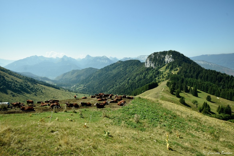 Randonnée avec les vaches, la Tournette