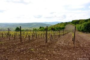 Vignoble royal en Serbie