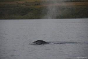 Baleine à bosse en Islande