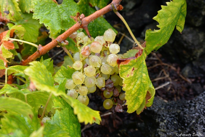 Grappe de vigne aux Açores