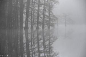 Effet miroir des cyprès chauves en hiver