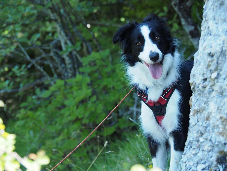 Chien souriant en randonnée dans le Vercors