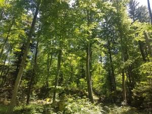 Randonner en forêt dans le Vercors