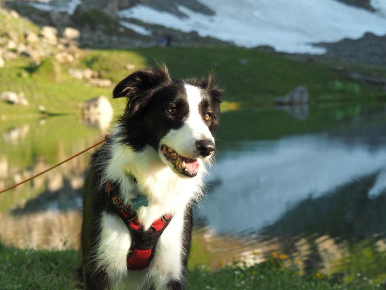 Border collie en bivouac au lac d'Amour, Savoie
