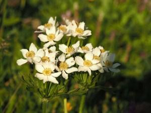 Fleurs des montagnes en Savoie