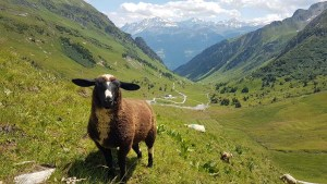Mouton du Beaufotrain avec des oreilles rigolotes