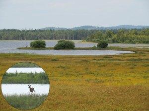 Marécage et élan dans le Parc national de Store Mosse en Suède