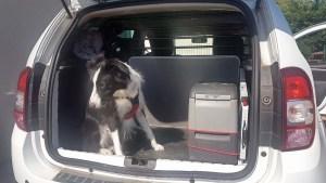 Chien dans le coffre de la voiture pour les longs voyages.