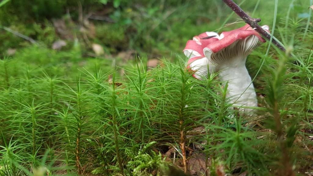 Champignon dans le parc national suédois
