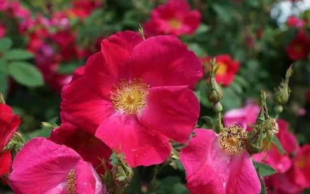 Grappa alla Rosa selvatica Preparazione e Ricetta