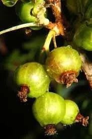 Grappa con frutti di Uva Spina Ricetta
