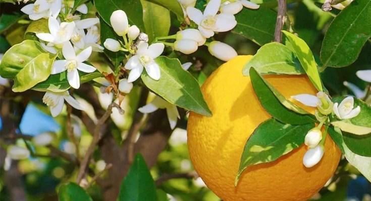 elisir di petali di fiori di arancio ricetta