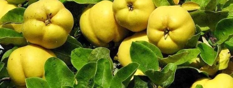 Ricetta grappa alla mela cotogna