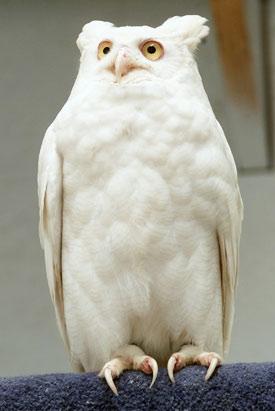 Este corujão-orelhudo albino é o único exemplar conhecido no mundo.