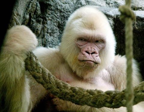 Esta é a foto de Snowflake, um gorila albino. Pouco depois disso o animal, do Zoológico de Barcelona, na Espanha, faleceu.