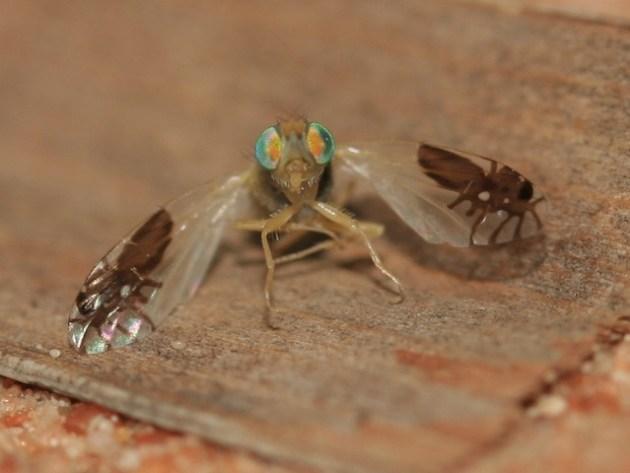 moscaformiga[1]