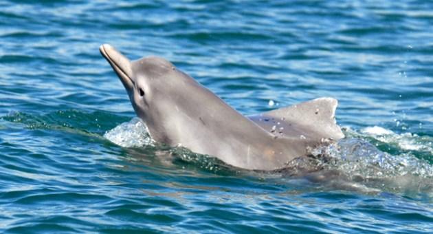 nova-especie-golfinho-descoberta-australia[1]